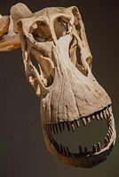 czaszka alamozaura