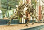 szkielet kentrozaura