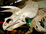 szkielet triceratopsa